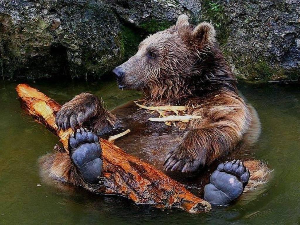 ours_brun_dans_l_eau_-_bear_picture_in_water.jpg
